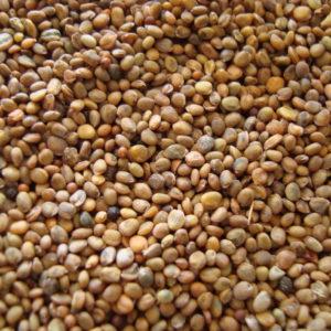 Filizlendirme için tohumlar